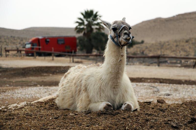 Alpaca` s landbouwbedrijf in Mitzpe Ramon, Israël 2018 royalty-vrije stock afbeelding