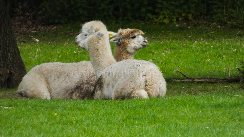 Alpaca`s in Love and enjoying the moment royalty free stock photography