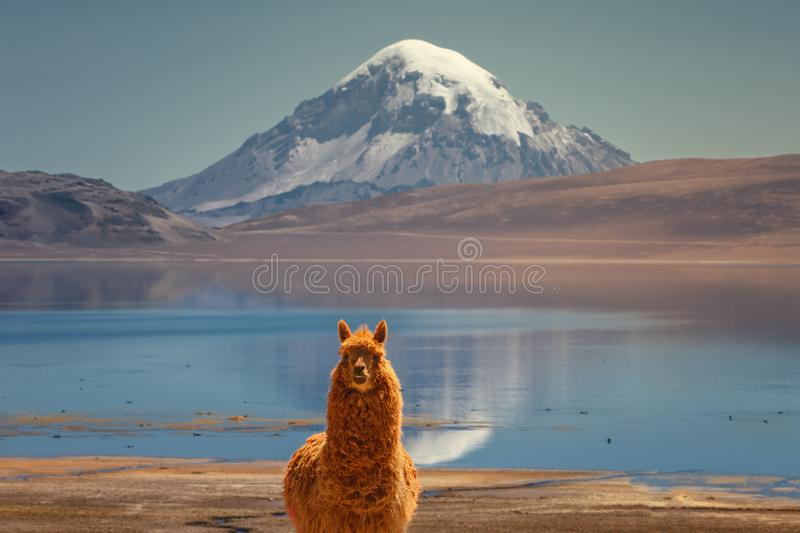 Alpaca`s Vicugna pacos grazing on the shore of Lake Chungara at the base of Sajama volcano, in the northern Chile royalty free stock photography