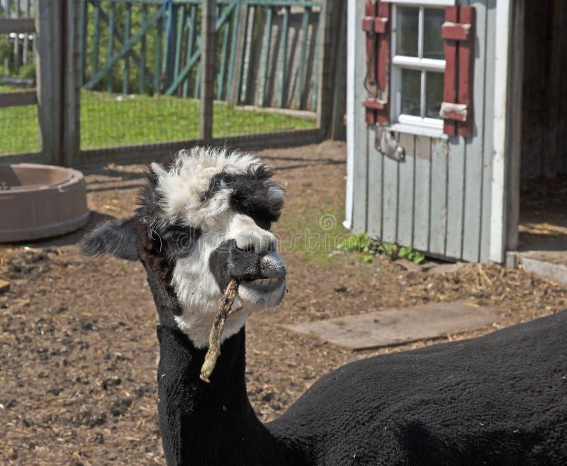 Alpaca som enjoing maten på lantgården royaltyfria foton