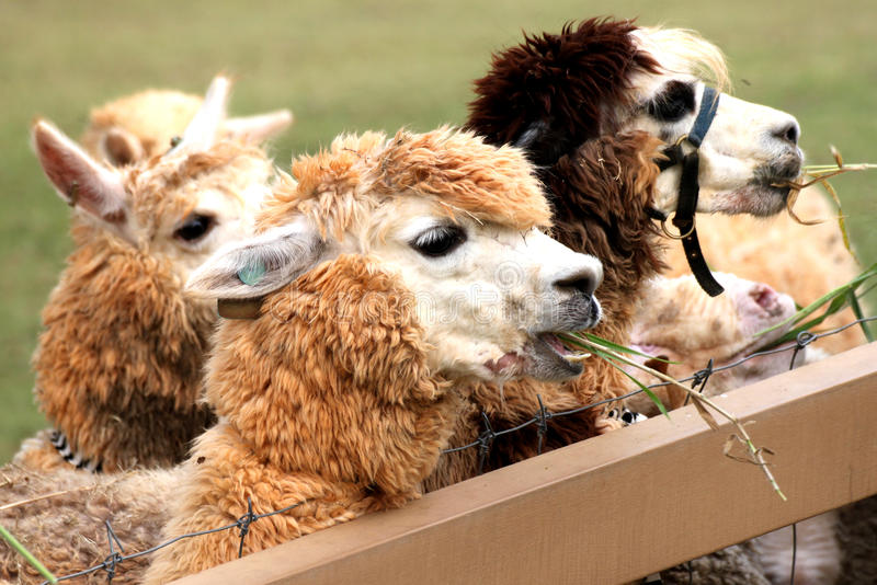 Alpaca Suan Pung Summer Time royalty free stock images