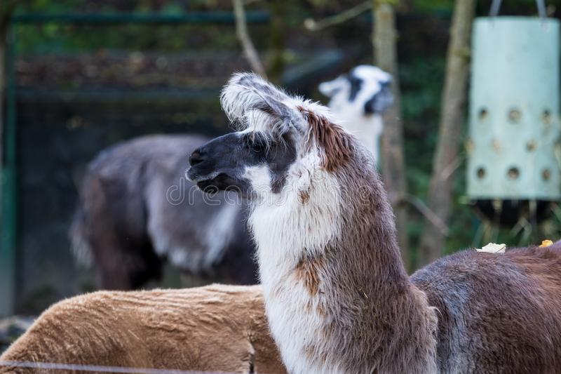 An alpaca, Vicugna pacos is a domesticated species of South American camel royalty free stock photography