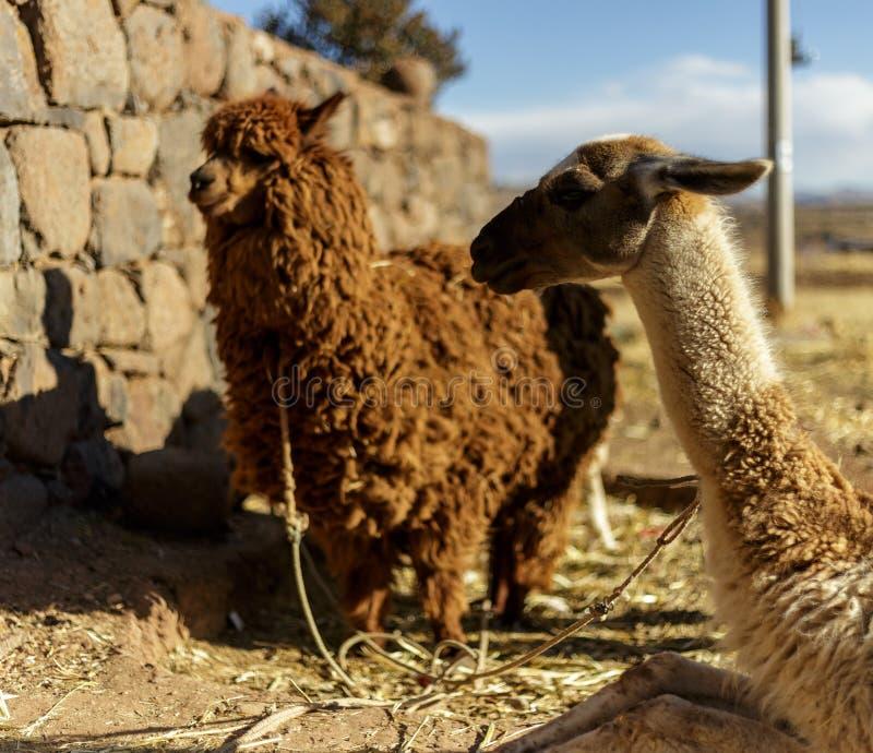Alpaca, Peruvian Wool, Peru royalty free stock photos