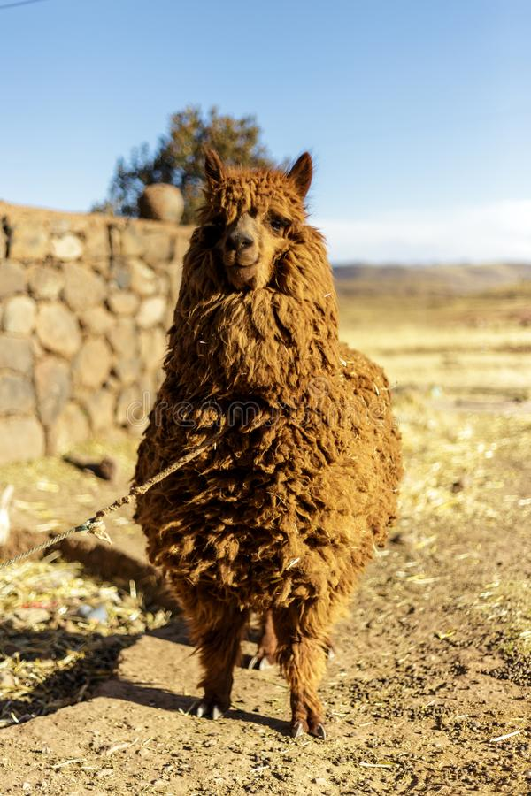 Alpaca, Peruvian Wool, Peru royalty free stock photography