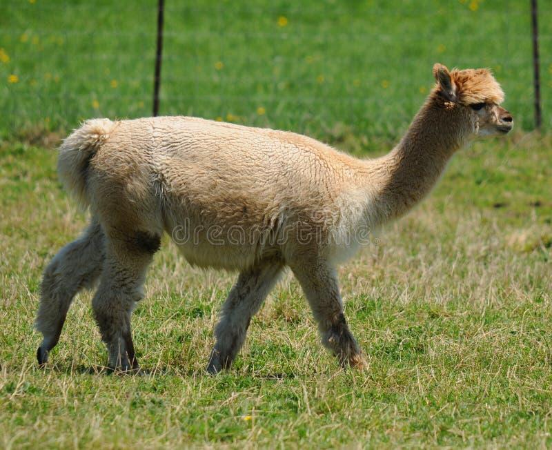 Alpaca Vicugna pacos stock photography