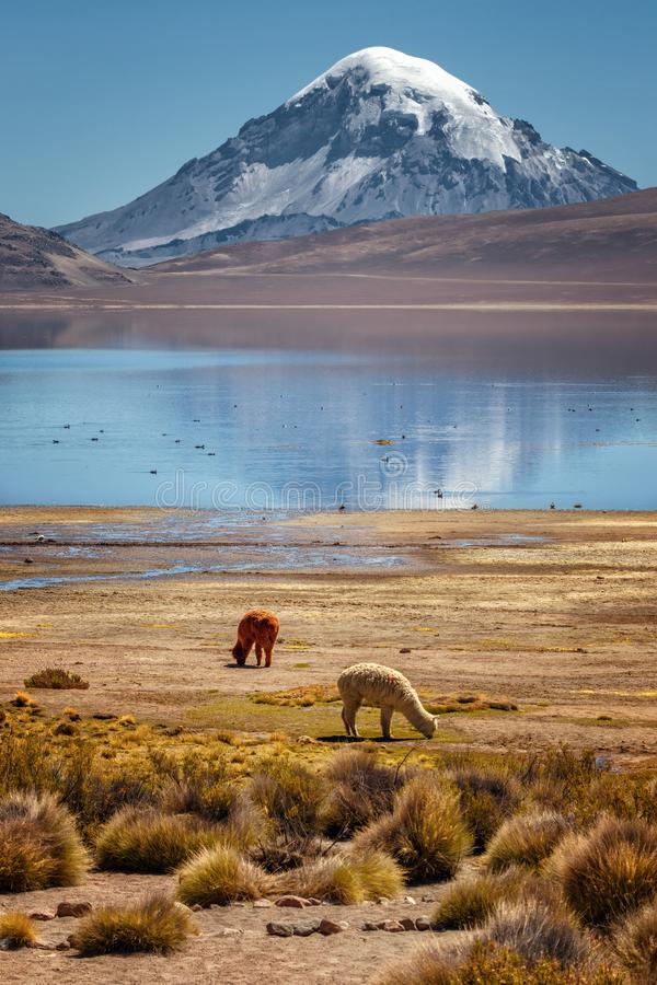 Alpaca Vicugna pacos grazing on the shore of Lake Chungara, in stock photos