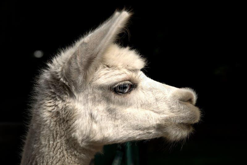 Alpaca Vicugna pacos stock image