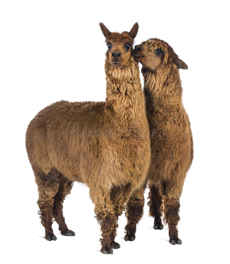 Alpaca whispering at another Alpaca`s ear against white background stock photos