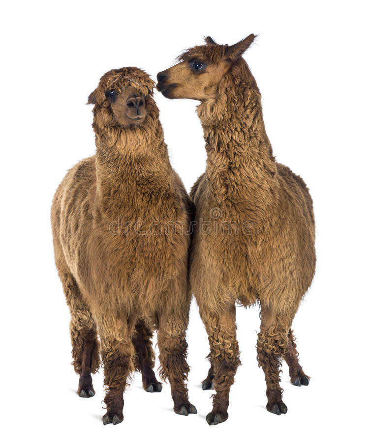 Free Alpaca Whispering At Another Alpaca S Ear Stock Images - 29012044