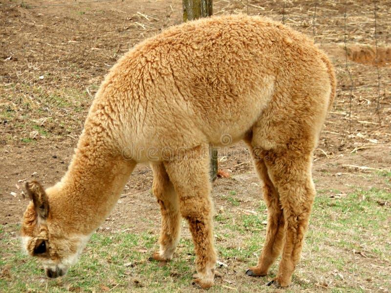 Alpacadjur Arkivfoto