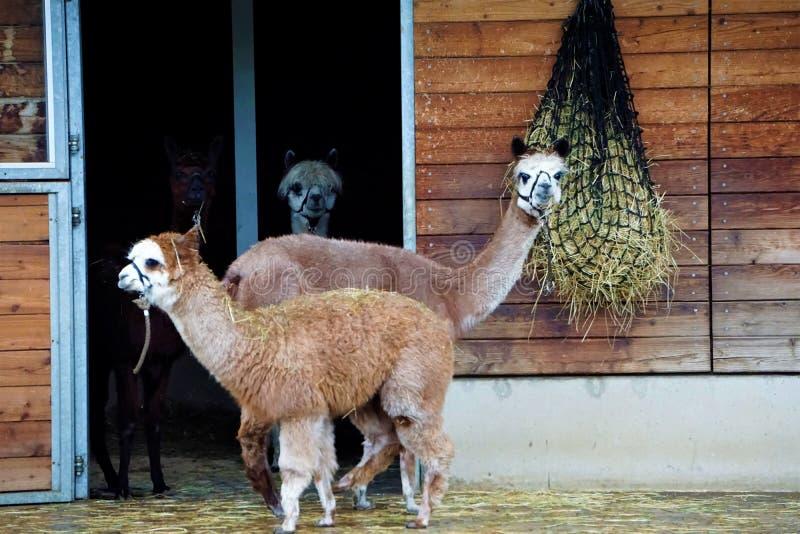 Alpacafamilj framme av stallen i zoo royaltyfria foton