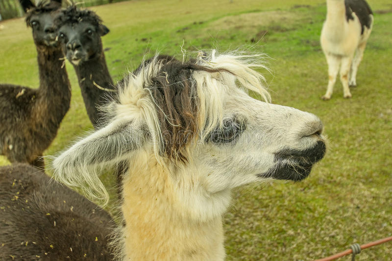 Alpacaframsidaprofil fotografering för bildbyråer