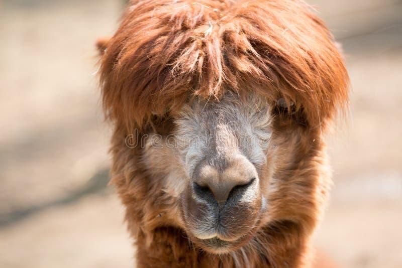 Alpacagezicht weg royalty-vrije stock foto's