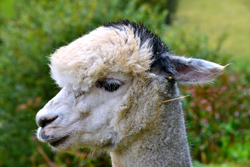 Alpacalaman royaltyfria bilder