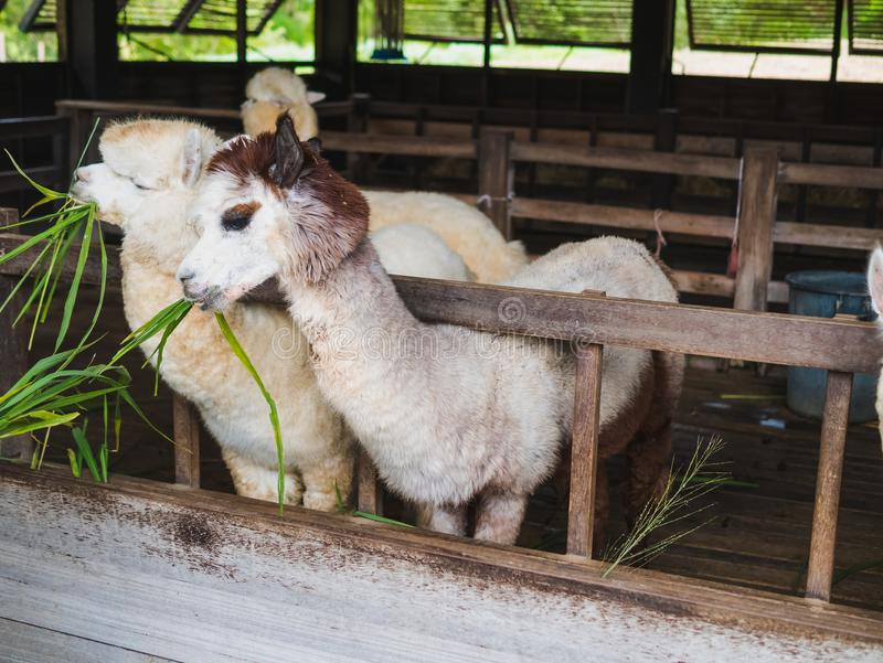 Alpacalamaslut upp ståendevit och brunt av den gulliga vänskapsmatchen som matar i lantgården som tuggar exponeringsglas arkivbild