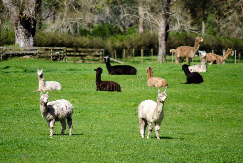 Alpacalandbouwbedrijf royalty-vrije stock foto