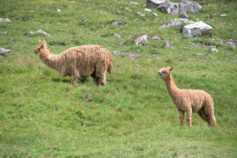 Alpacaportret terwijl het bekijken u stock afbeeldingen