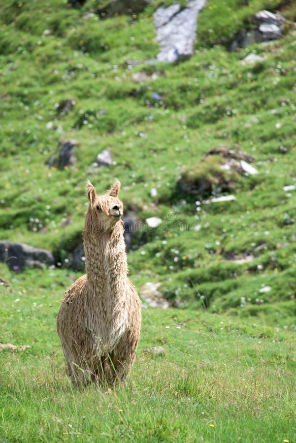 Alpacaportret terwijl het bekijken u royalty-vrije stock foto's