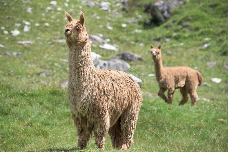 Alpacaportret terwijl het bekijken u stock fotografie