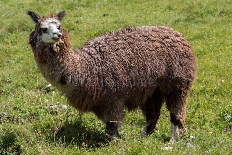 Alpacaportret terwijl het bekijken u stock foto's