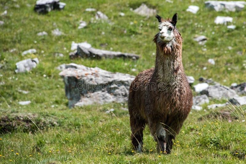 Alpacaportret terwijl het bekijken u royalty-vrije stock foto