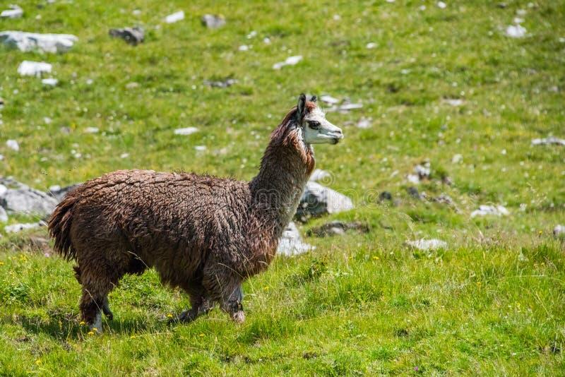 Alpacaportret terwijl het bekijken u royalty-vrije stock fotografie