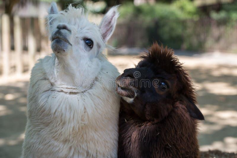 Alpacaportret terwijl het bekijken u royalty-vrije stock afbeelding