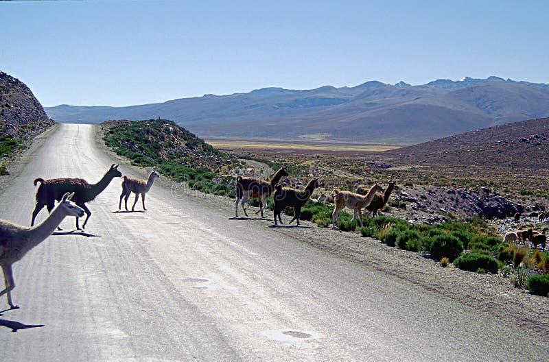 alpacas安地斯山的横穿路 免版税库存图片