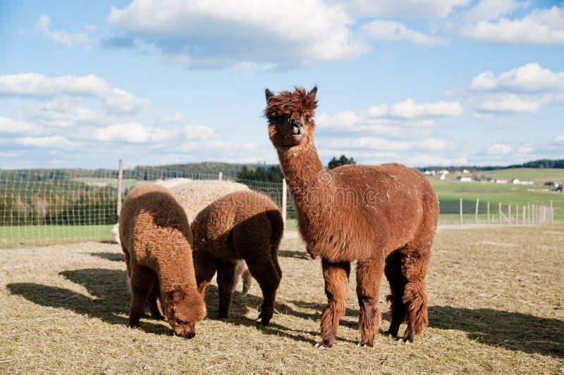 alpacas褐色 免版税库存照片