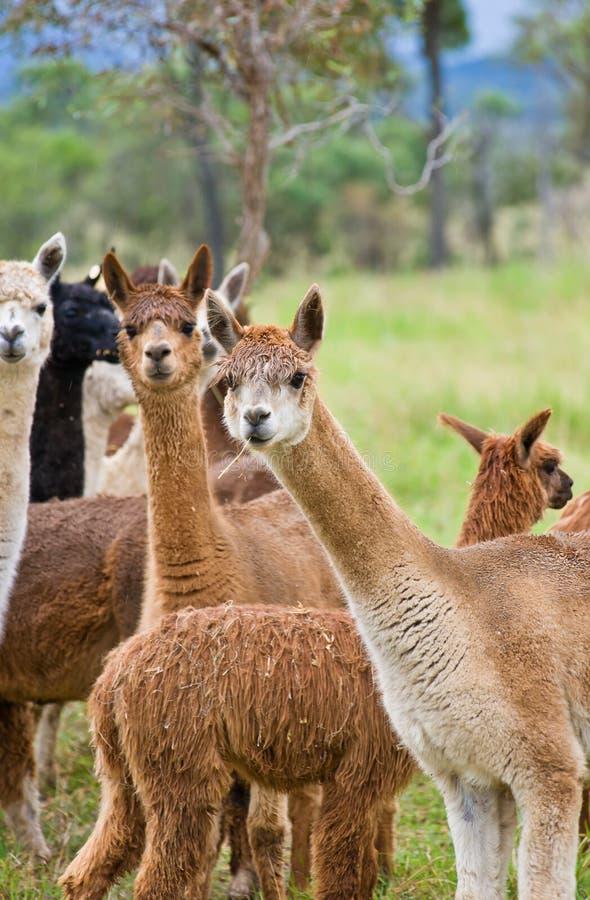 alpacas пася стоковое изображение rf