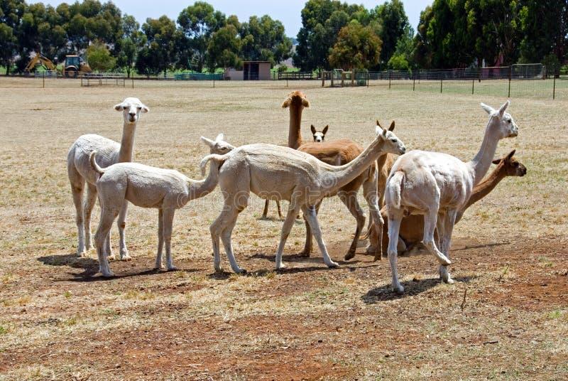 Alpacas images libres de droits