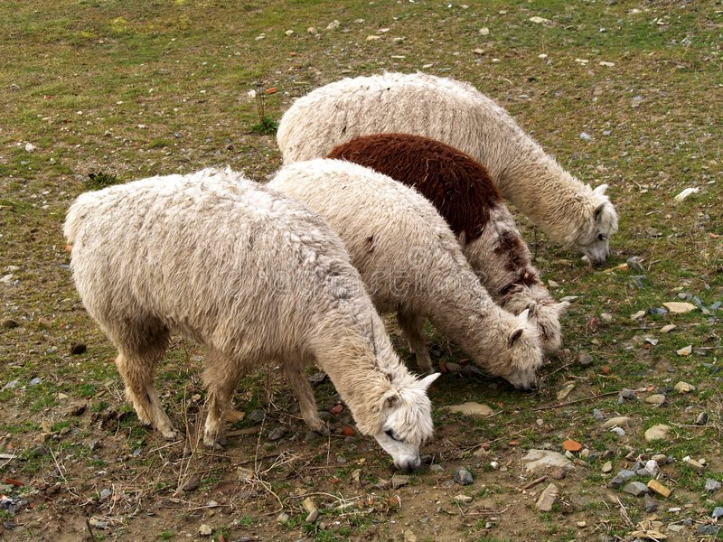 alpacas 库存图片