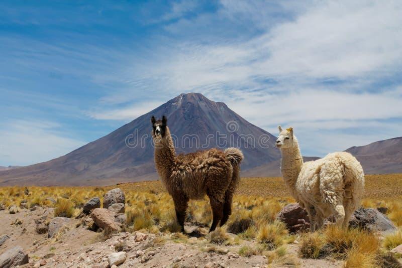 Alpacas at the bottom of Volcano Licancabur on Chile and Bolivia border stock photos