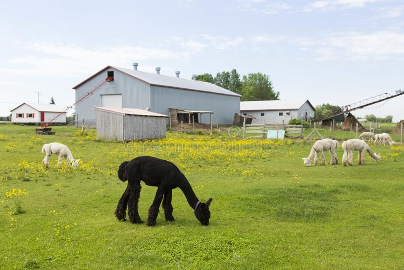 Alpacas coloridas marrons e de creme escuras que pastam em seu cerco durante uma manhã do verão foto de stock royalty free