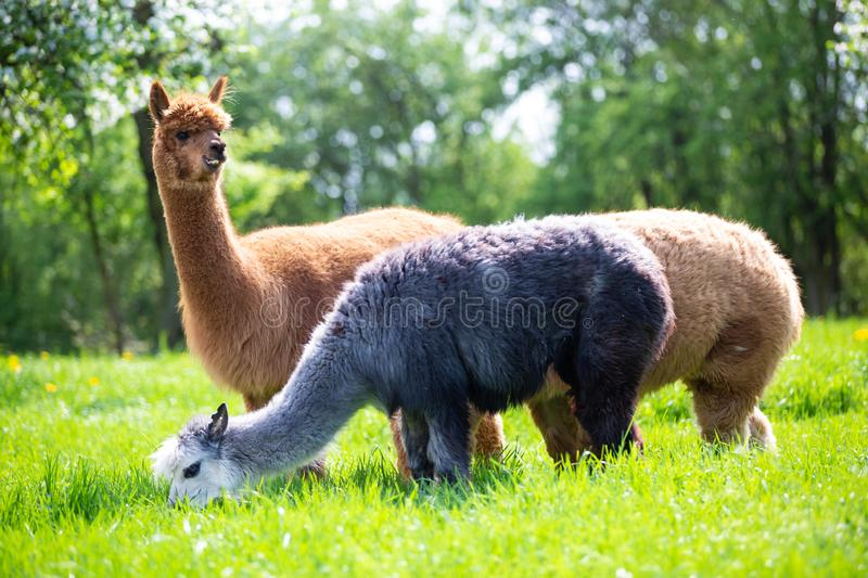 Alpacas eating grass. South American mammals royalty free stock photography