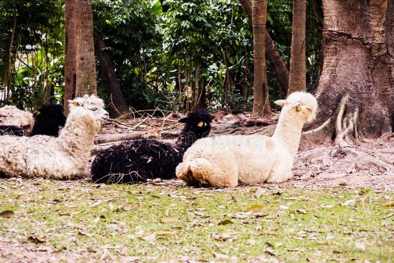 alpacas en el parque zoológico fotos de archivo