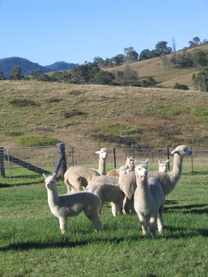 Alpacas en prado foto de archivo
