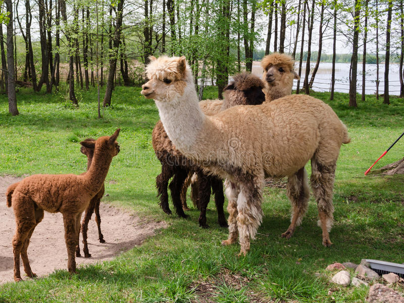 Alpacas family with small baby pastures on green grass by the la royalty free stock images