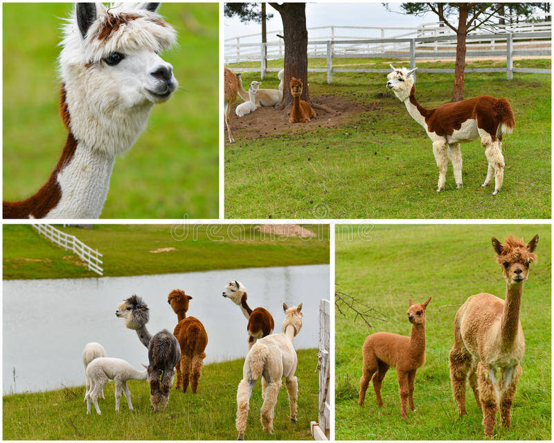 Alpacas farm collage. A herd of adult and young cria alpacas in a pasture, collage image stock photo