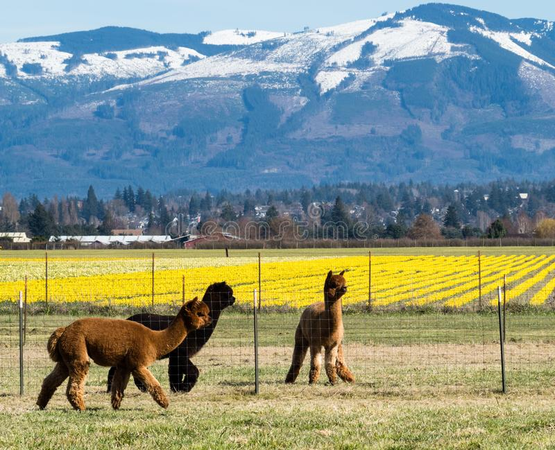 Alpacas on a farm in Washington state. Alpacas on a farm in Skagit Valley with daffodil fields in bloom - Washington state, USA royalty free stock photo