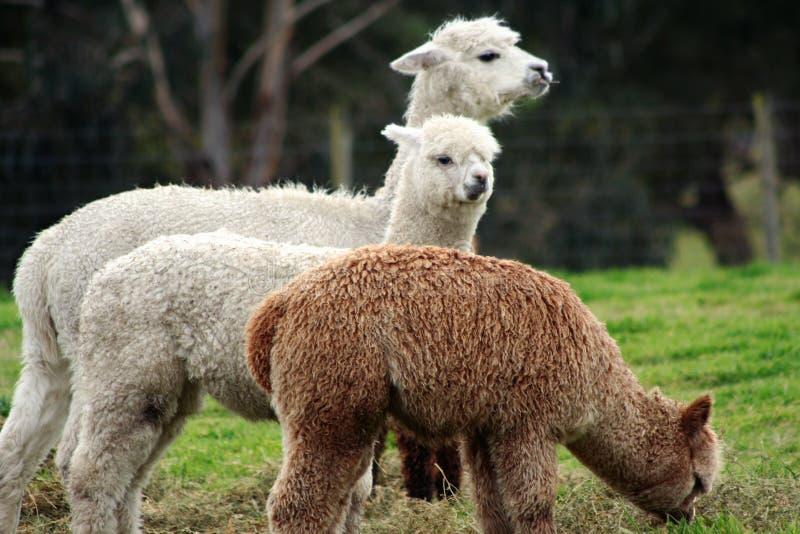 Alpacas feeding 1 stock photography