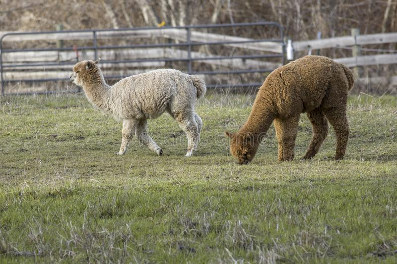 Alpacas graze on grass in the pasture royalty free stock photo