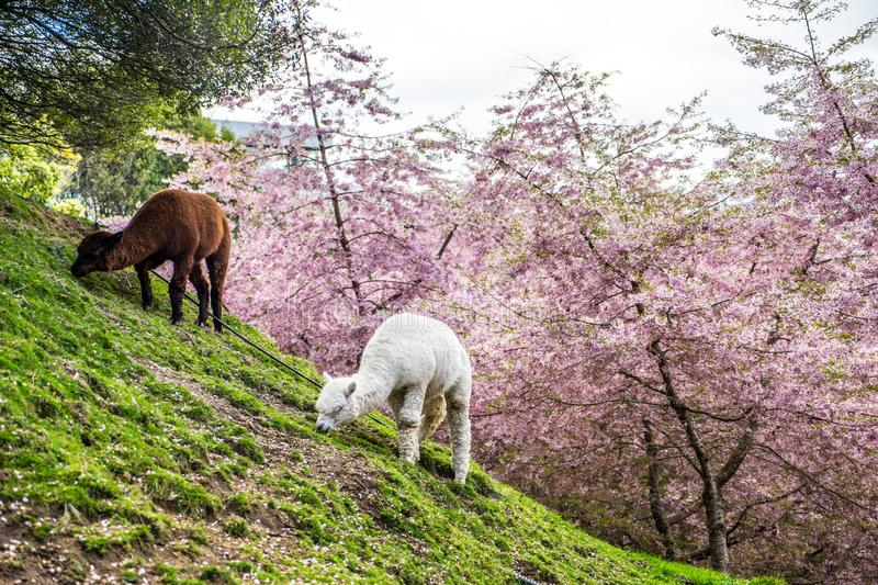 Alpacas grazing on green pasture. Photo of Alpacas grazing on green pasture with cherry blossoms in the background stock photos