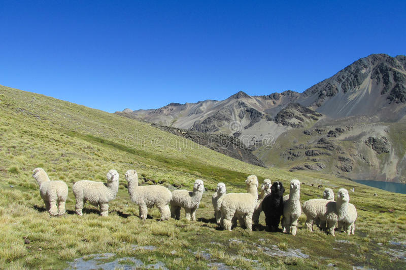Alpacas on green meadow in Andes. The llama, lama and alpaca domesticated South American camelid animals on the green meadow in the Andes mountains. Furry llama royalty free stock photography