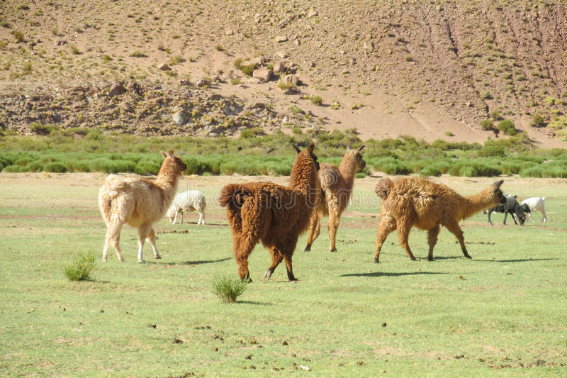 Alpacas on green meadow in Andes. The llama, lama and alpaca domesticated South American camelid animals on the green meadow in the Andes mountains. Furry llama royalty free stock photo