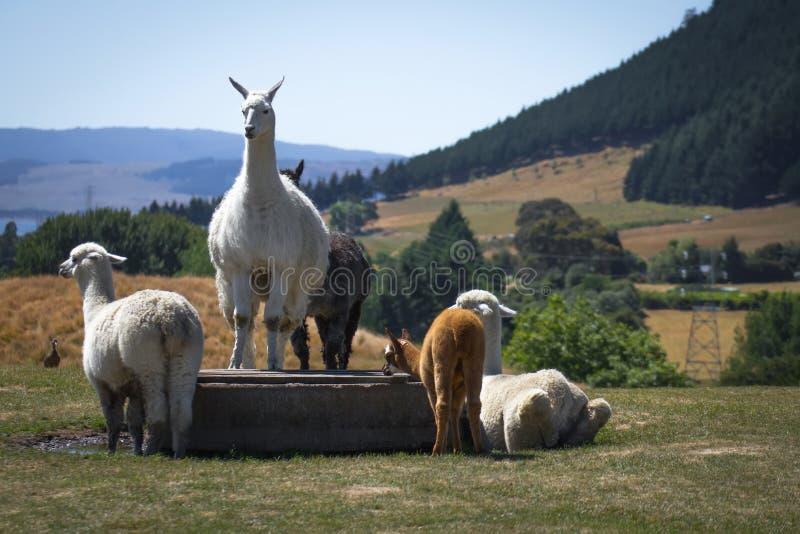 Alpacas i Alpacalantgård royaltyfri foto