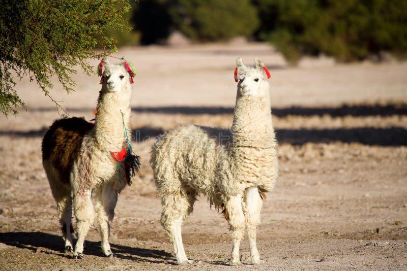 Alpacas in a oasis in the Atacama desert, Tambillo, Los Flamencos National Reserve, Atacama desert, Chile royalty free stock image
