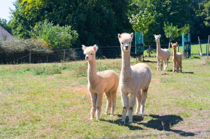 Alpacas på lantgården arkivbilder