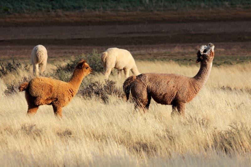 Alpacas (pacos de Vicugna) image libre de droits