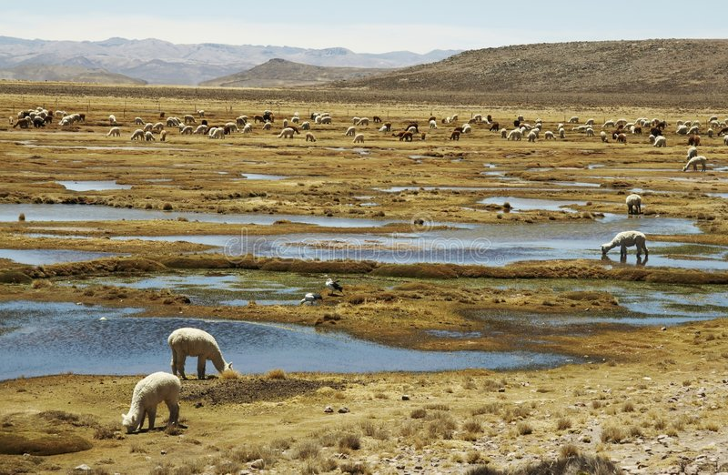 Alpacas pastoral in the Peru royalty free stock photo